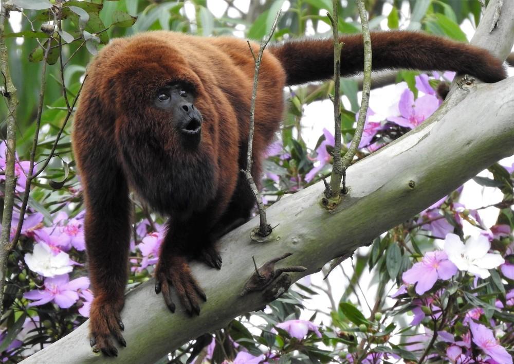 Macaco é encontrado morto no bairro Limeira Alta