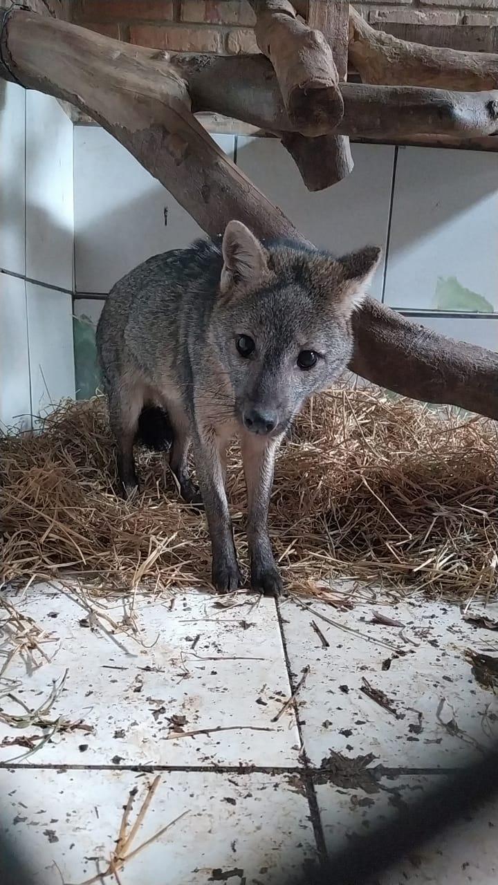 Cachorro do mato tratado no Parque Zoobotânico é reintegrado à natureza