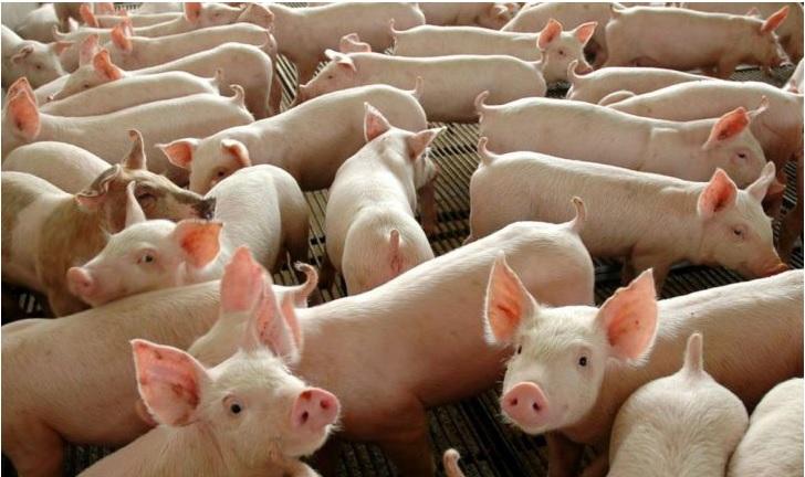 Saúde reforça orientação para prevenir a peste suína